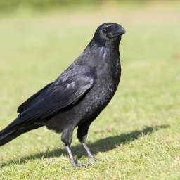 It is the black crow…