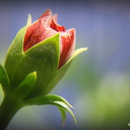 From a pregnable bud to a divine gardner…